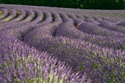 lavender fields in Verdon France