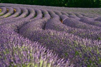 Les champs de lavande du Verdon