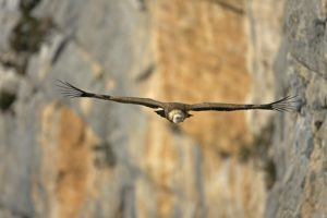 vultures in the Verdon